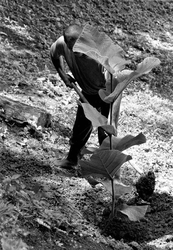 Maleng Planting Moralón